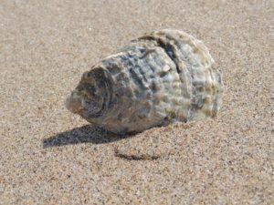 seashell-140746_960_720